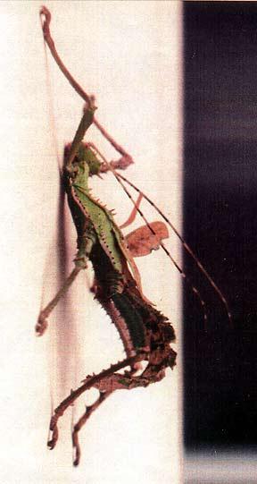faux male carausius morosus Dilatata_gynamdromorphe3