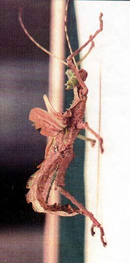 faux male carausius morosus Dilatata_gynamdromorphe4