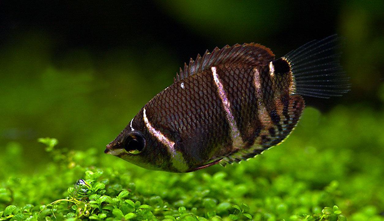 Votre poisson préféré ...  Gourami-chocolat-01