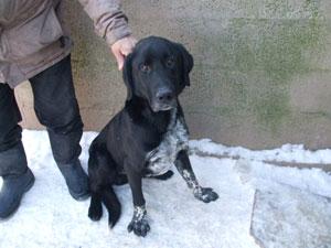 DIKENS  -x  Labrador noir plastron blanc moucheté 12 ans  (6 ans de refuge) -  LES AMIS  DES  BETES  A  MEDIS  (17) Photo_413