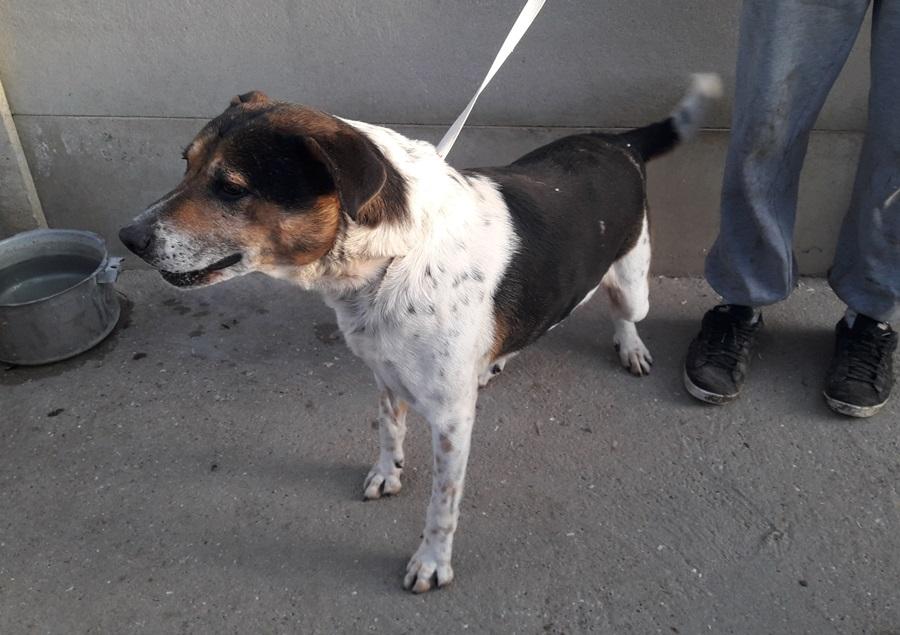 GRANT - x beagle 10 ans (7 ans de refuge)  - Les Amis des Bêtes à Medis (17) près de Royan Photo_748