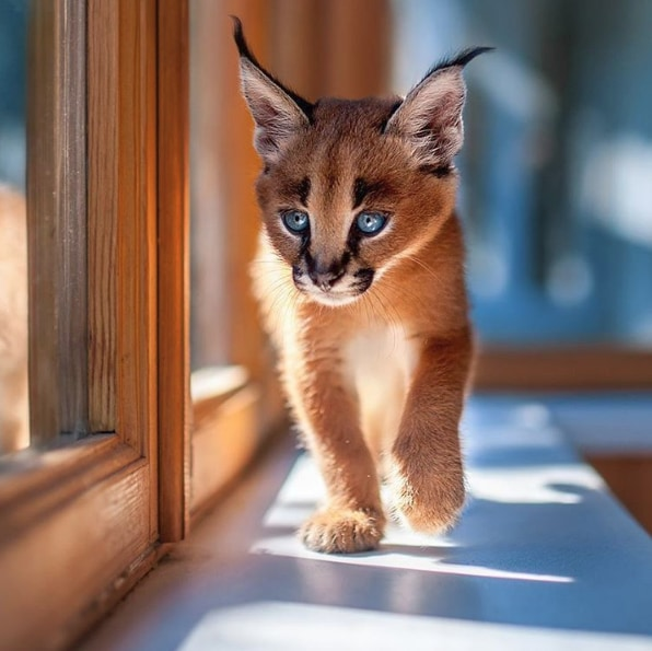 Le saviez-vous ? L'espèce de chat la plus mignonne a été trouvée ! 4e0231e9-5031-4e4d-8040-d490678c6f3e