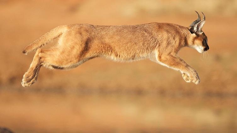 Le saviez-vous ? L'espèce de chat la plus mignonne a été trouvée ! Cf36674b-fa9b-4710-9412-5d15cc4d708f