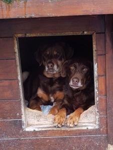 BAYA et RIO - x labrador 10 ans et 6 ans - (3 ans de refuge)  Refuge Les Oubliés de Saint Beart à Castellsarrasin (82) 3d72b7a8ccb1a75cfe9106a33cd9eb691