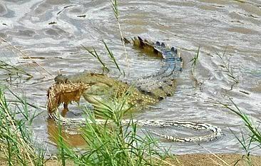 Anaconda VS Crocodilo do nilo Croc2006MF