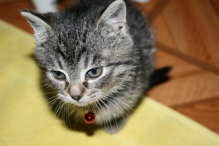ZELIE & CLEMENTINE, chatonnes de 6 semaines à Lesquin (59) IMG_5027