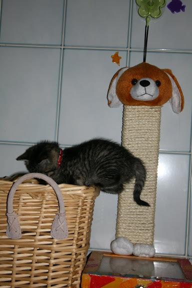 ZELIE & CLEMENTINE, chatonnes de 6 semaines à Lesquin (59) IMG_5050