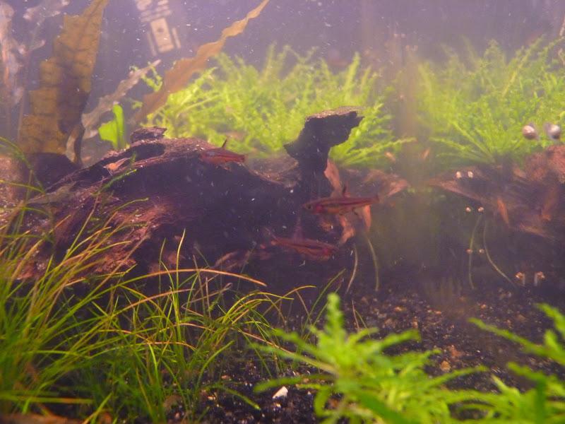 Ma petit histoire Aquariophile de 2009 à aujourd'hui  Aquarium%20300110%20037