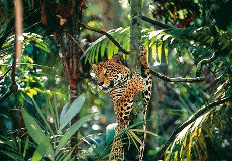 Jaguar Pantaneiro VS Leoa do Serengeti Araquem