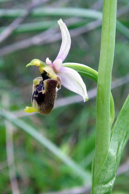 Ophrys annae ( Ophrys d'Anne ) Dan%20Ophrys%20annae%201c