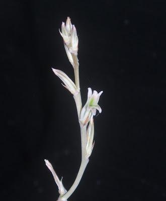 Haworthia magnifica Haworthia%20mucronata%20hampe%20florale