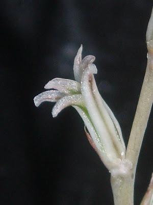 Haworthia magnifica Haworthia%20mucronata%20fleur