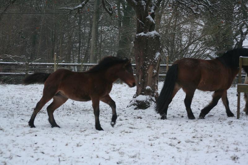 Le  calvados sous la neige... les chevaux s'éclatent! IMG_4957