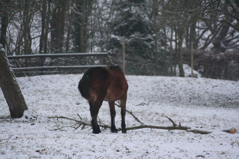 Le  calvados sous la neige... les chevaux s'éclatent! IMG_4954
