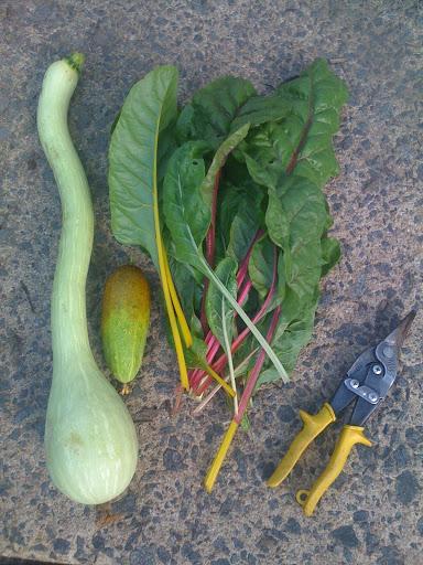 First harvest of 2010 - Zuchinni & Squash Photo-705086