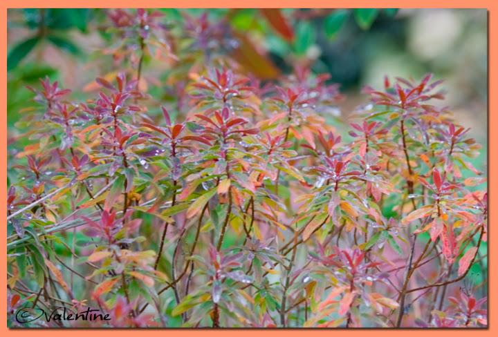 Couleur automnale chez moi et tout près, 26 sept.2010 EuphorbiaBonfire100926_10RM