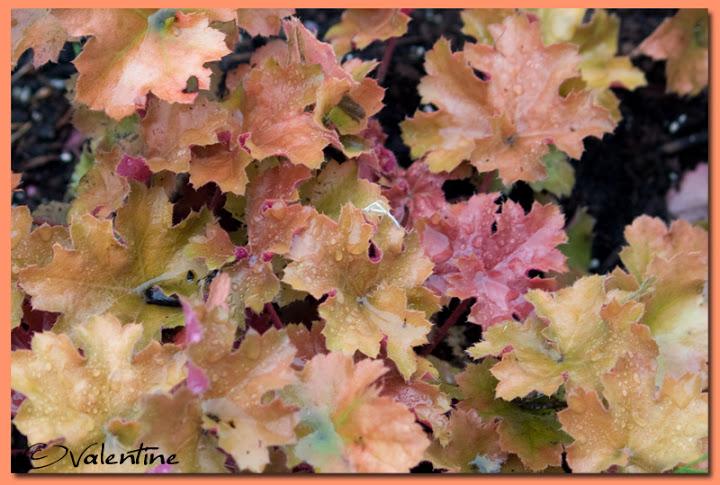 Couleur automnale chez moi et tout près, 26 sept.2010 HeucheraChrista100926_3RM