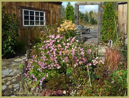 ( Dendrathema ) maintenant Chrysanthemum Mary Stoker ChrysanthemumMaryStocker101016_02RM