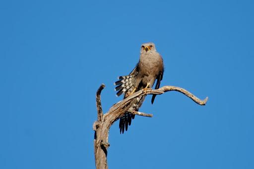 Falconiformes. sub Falconidae - sub fam Falconinae - gênero Falco 20080824-074107_DSC_4903%252520Faucon%252520de%252520Dickinson