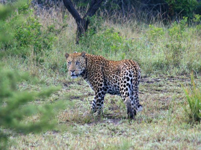 Jaguar venezuelano VS Leopardo macho monstro - Página 5 IMG_1709