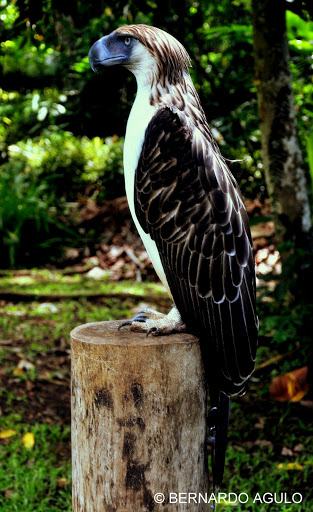 Falconiformes. Família  Acciptridae - Subfamília Buteonidade-Águias coroadas - gênero Pitecophaga jefferyi . Águia das Filipinas. DSC_0205