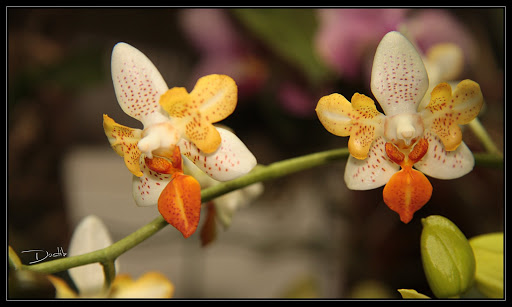 Phalaenopsis pelorique Mini%20mark%20p%C3%A9lorique