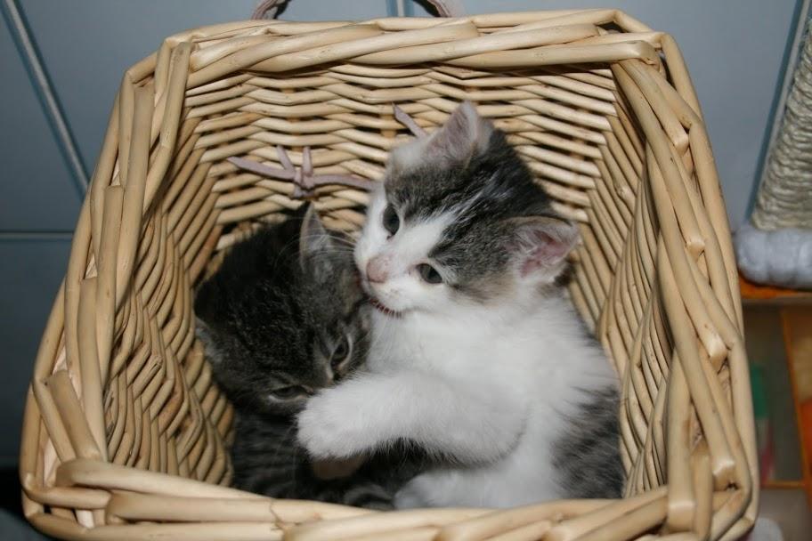 ZELIE & CLEMENTINE, chatonnes de 6 semaines à Lesquin (59) IMG_5051
