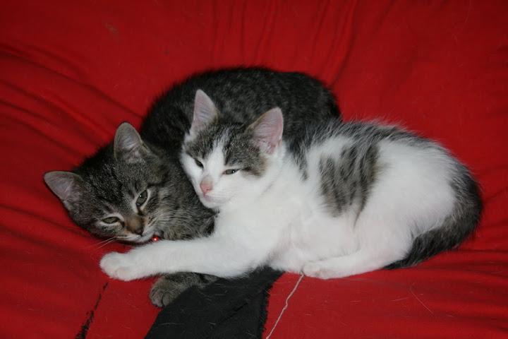 ZELIE & CLEMENTINE, chatonnes de 6 semaines à Lesquin (59) IMG_5181