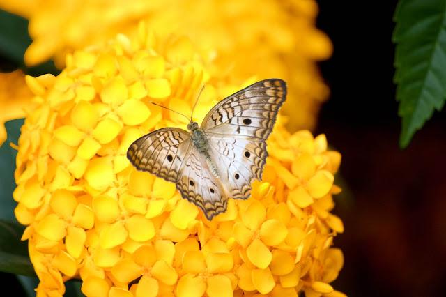 Leptiri Yellow_final2