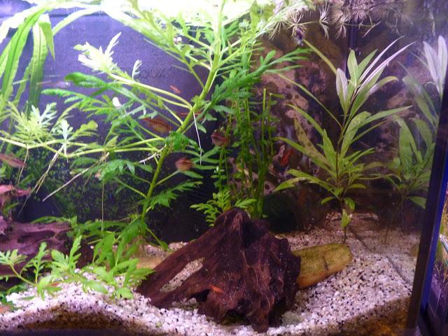 Ma petit histoire Aquariophile de 2009 à aujourd'hui  P1010201
