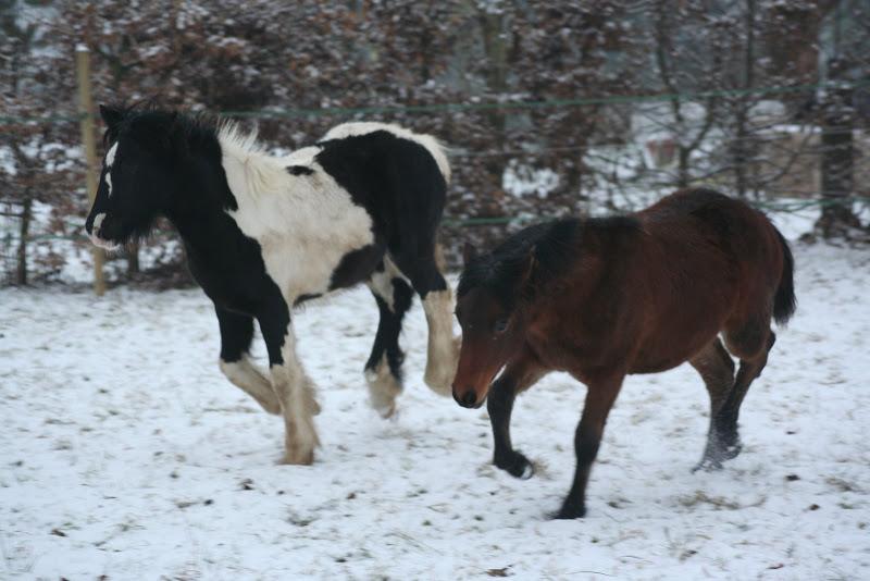 Le  calvados sous la neige... les chevaux s'éclatent! IMG_4973