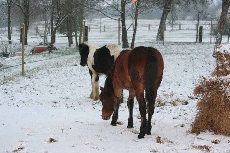 Le  calvados sous la neige... les chevaux s'éclatent! IMG_4922