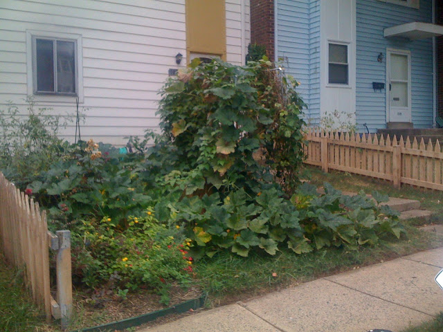 CONTEST:  Guess total vine length of my rampicante squash! Photo%201-717844