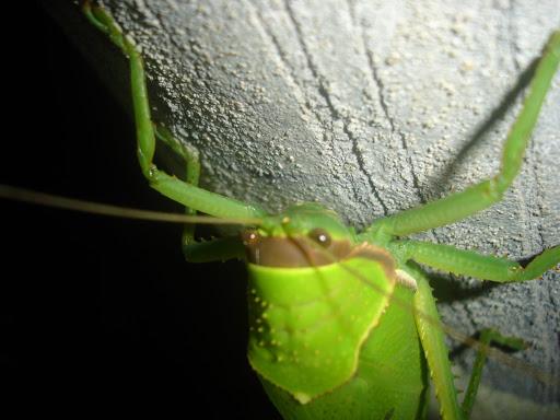 [Orthoptera sp.] ma sauterelle preferee... DSC01650