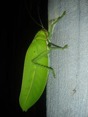 [Orthoptera sp.] ma sauterelle preferee... DSC01643