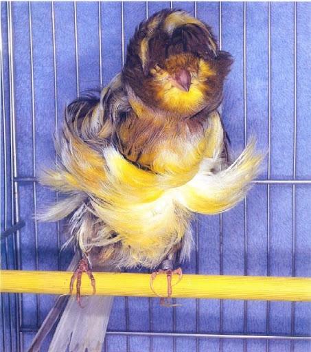 طيور الكناري موسوعة شامله وبكل ما يتعلق بالكناري وصوره والتزاوج والتفريخ  224
