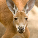 inches - A Google A Day - We occasionally fight but we never use guns, yet still they call our group a mob. And even though I'm usually only 4 feet 11 inches high, people still consider me the biggest. What kind of beast am I? Image_answer_130x130_kangaroo