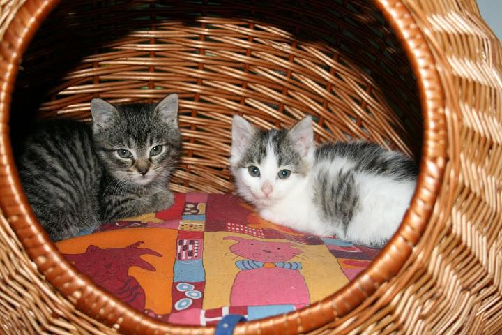 ZELIE & CLEMENTINE, chatonnes de 6 semaines à Lesquin (59) IMG_4976