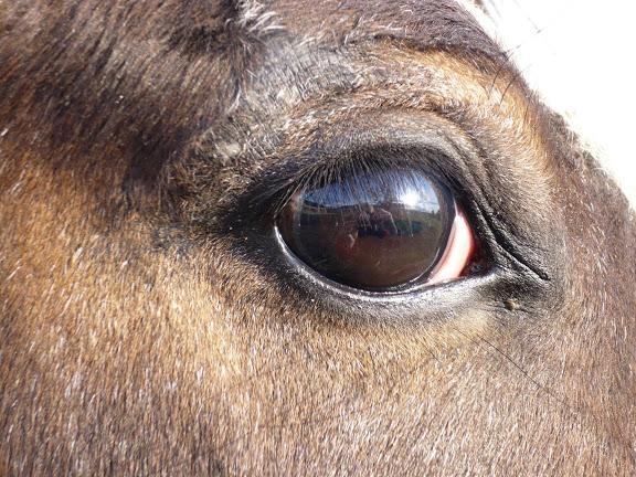 CONCOURS PHOTOS, L'oeil des chevaux ! P1000450