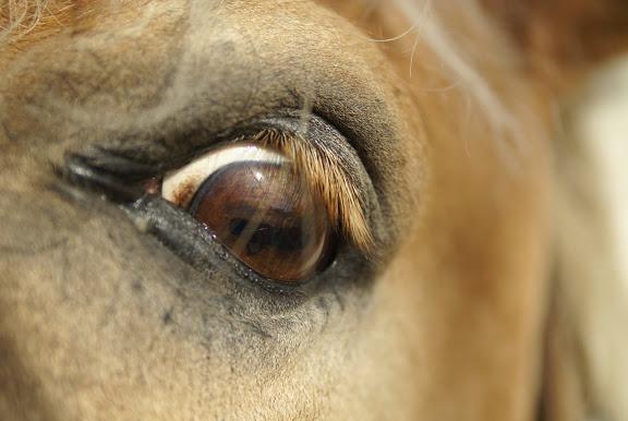 CONCOURS PHOTOS, L'oeil des chevaux ! DSC03321