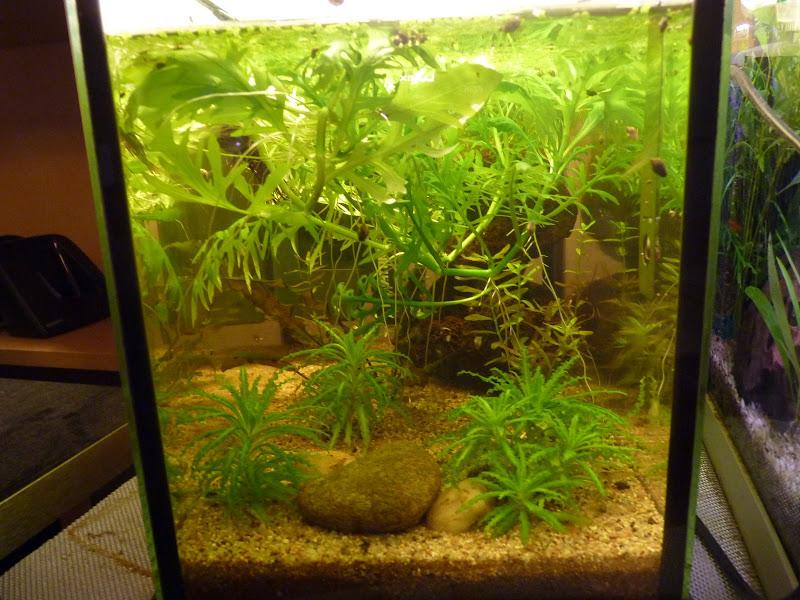 Ma petit histoire Aquariophile de 2009 à aujourd'hui  P1010627