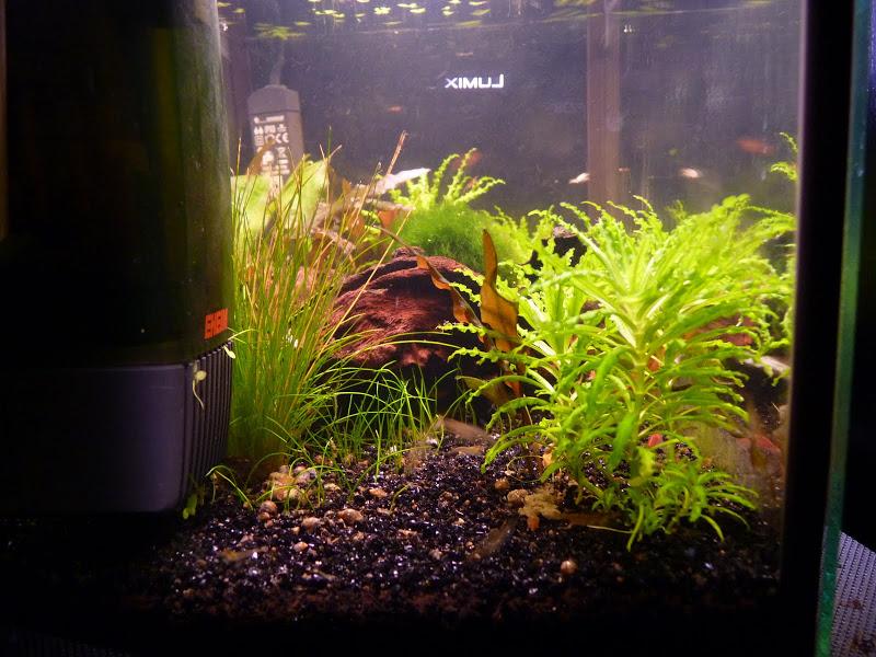 Ma petit histoire Aquariophile de 2009 à aujourd'hui  P1000279