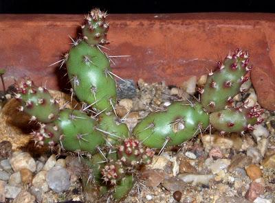 Opuntia fragilis Opuntia%20fragilis%20v.%20oplocarpa