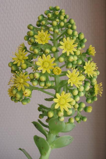 Aeonium arboreum Aeonium%20arboreum%202