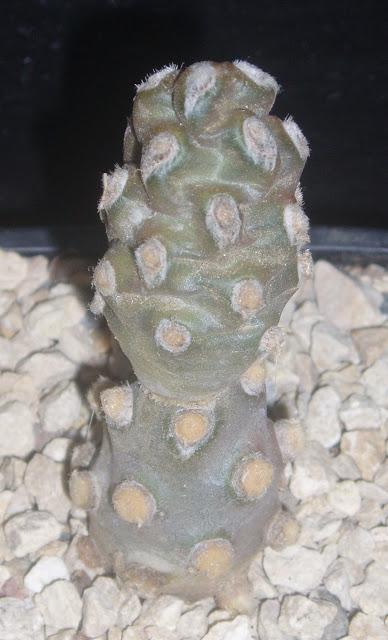 Tephrocactus molinensis Tephrocactus%20molinensis