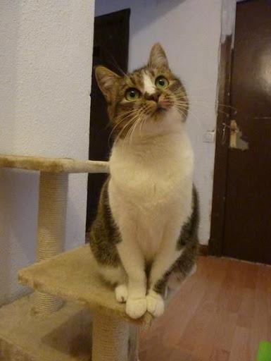 Moli preciosa gata de dos años en adopción. ¡Adoptada! P1140783