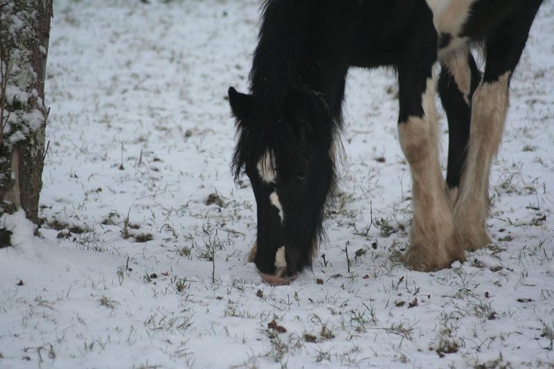 Le  calvados sous la neige... les chevaux s'éclatent! IMG_4930