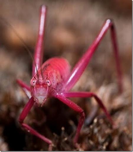 Ditemukan Belalang Pink yang Sangat Langka  4_thumb