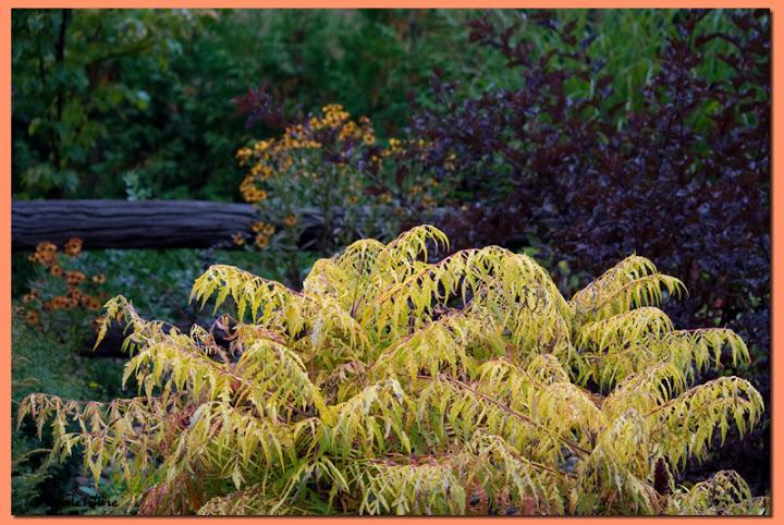 Couleur automnale chez moi et tout près, 26 sept.2010 SumacTigerEye_PhysocarpusCoppertina100924_32RM