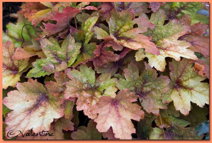 Couleur automnale chez moi et tout près, 26 sept.2010 HeucherellaSweetTea100926_5RM